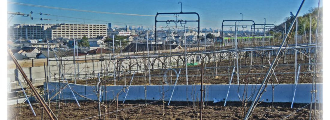榎戸園は東京で果実をつくる農家です